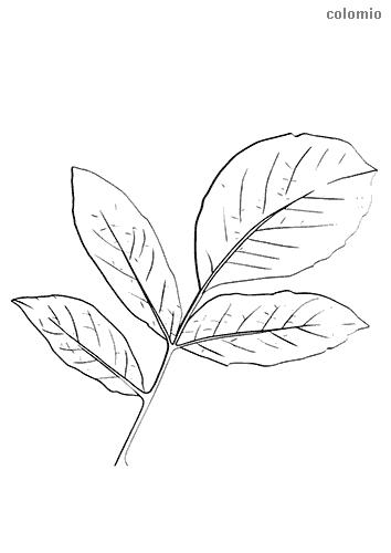 Faulbaum Blatt Malvorlage