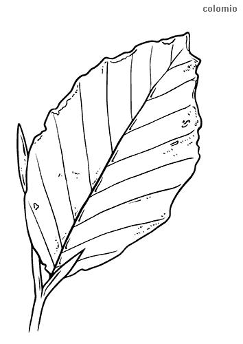 Blatt Malvorlage Kostenlos Blätter Ausmalbilder