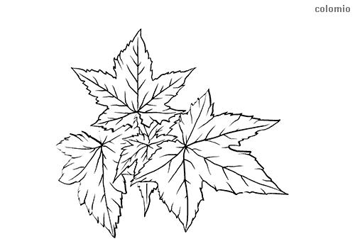 Silber-Ahorn Blatt Malvorlage