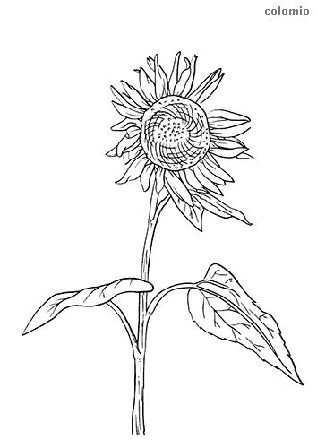Sonnenblume mit Stiel Ausmalbild
