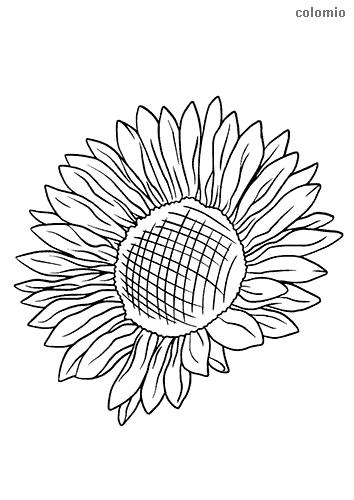 Sonnenblume ohne Stiel Ausmalbild