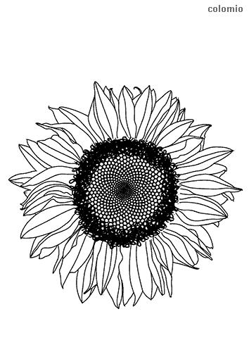 Sonnenblumenkopf Ausmalbild