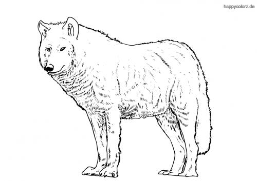 Polarwolf Malvorlage